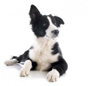 Ein Bandscheibenvorfall kann auch bei Hunden und Katzen auftreten. Überzüchtete Rassen und große Tiere sind oft betroffen.